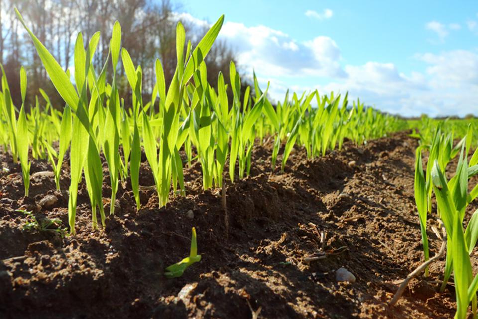 Corn field at mountain
